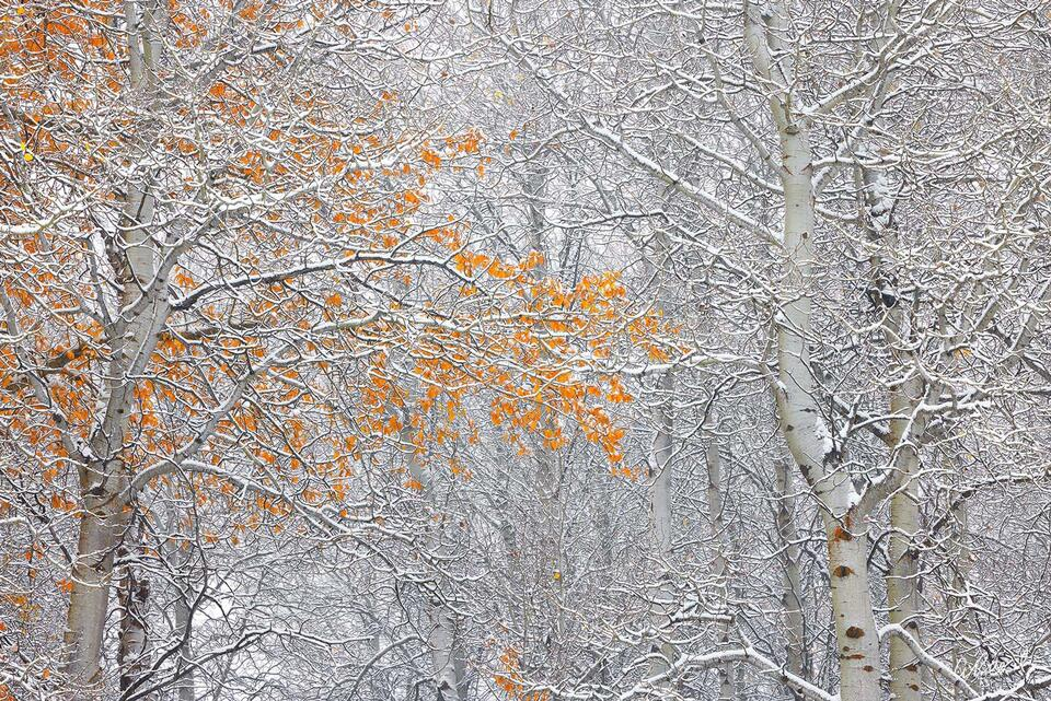 A photograph of aspen tree trunks without leaves covered by fresh snow.