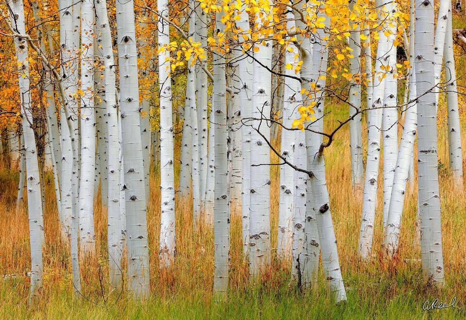A photograph of young, small aspen trees growing in a field of golden grass in autumn.