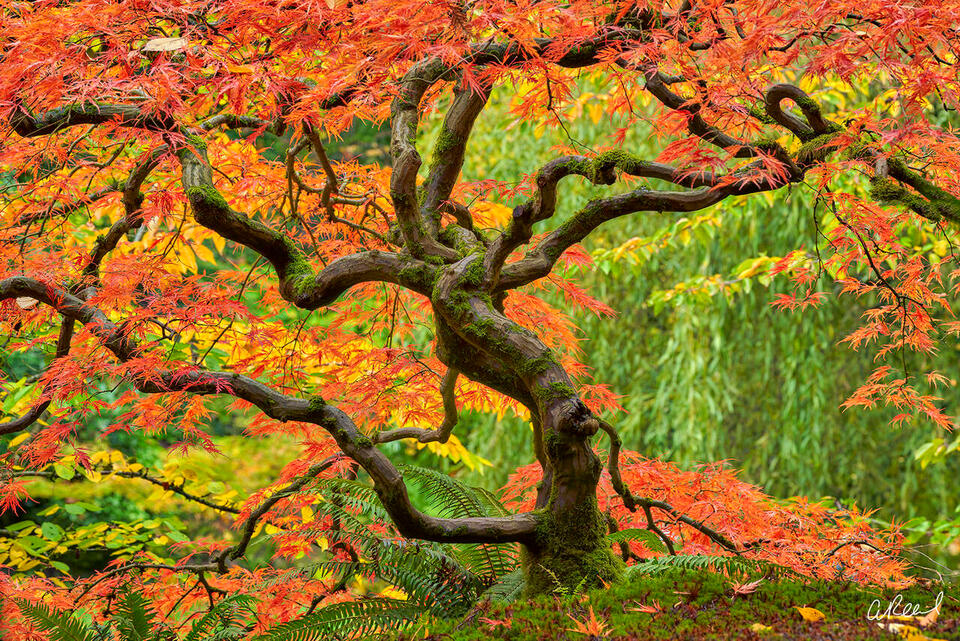 A twisted Japanese maple tree during fall inside Portland's Japanese Garden.