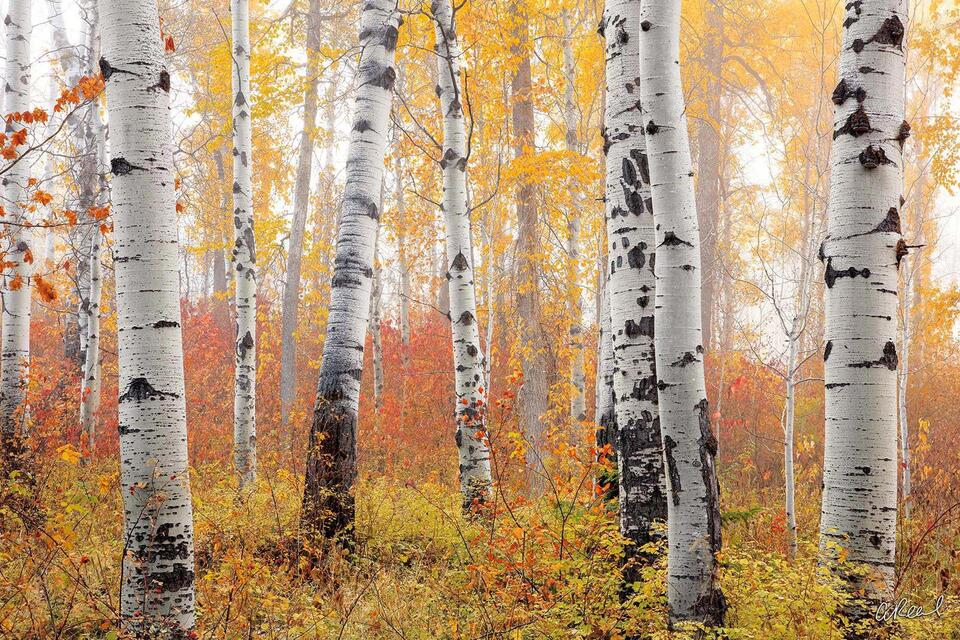 A photograph of sparsely spaced aspen trees on a foggy morning with yellow leaves.