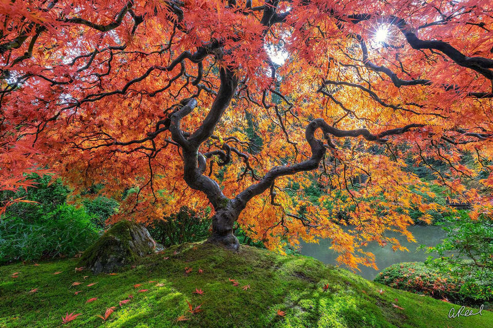 A Japanese maple tree displaying beautiful fall color stretches its branches inside the Portland Japanese Garden in Oregon.