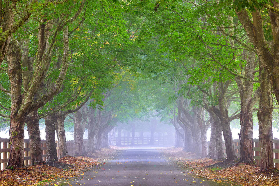 A tree lined driveway of maple trees with green leaves on a foggy morning.