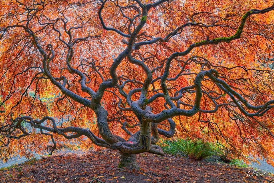 A photograph of a large Japanese maple tree with many twisting branches and red and orange leaves.