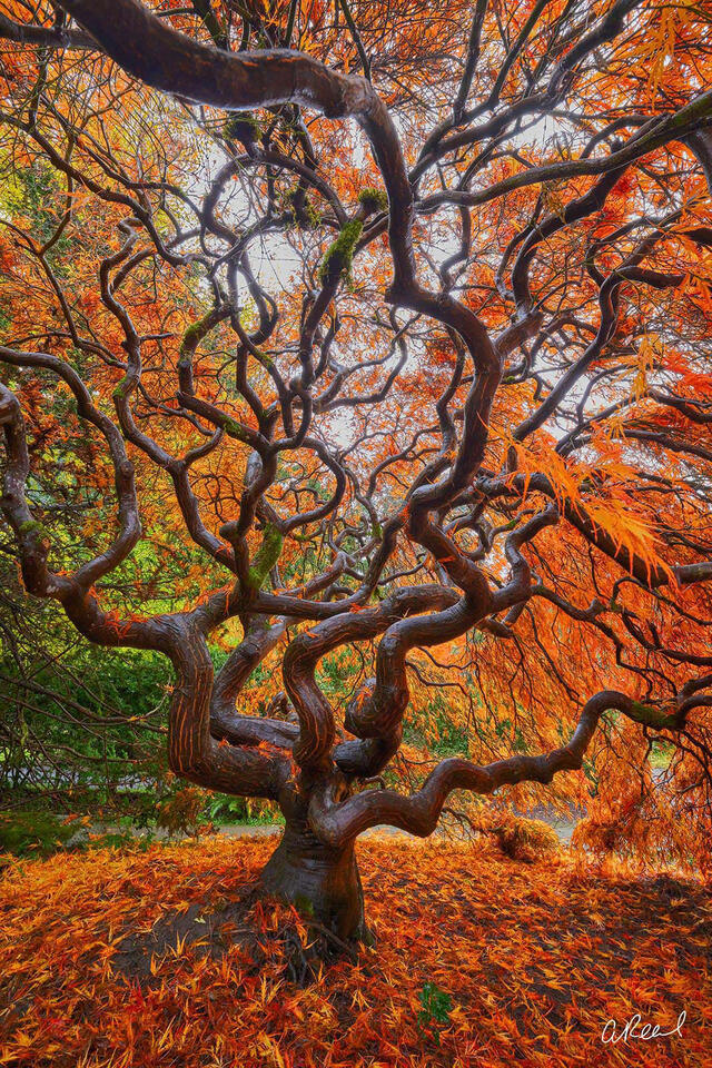 A vertical photograph of a red maple tree with leaves scattering the ground at its base.