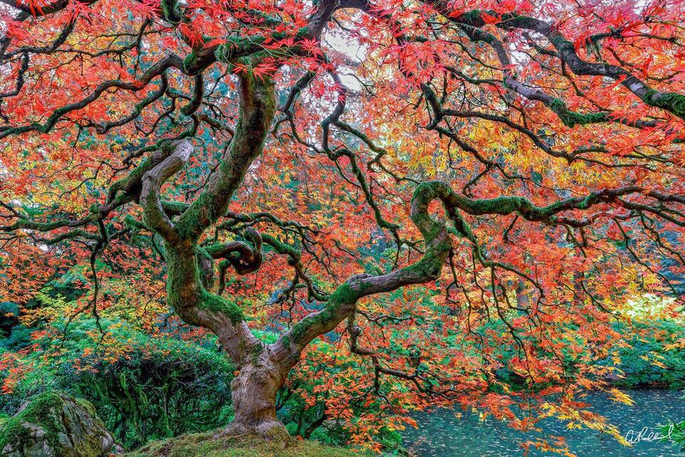 A photograph of a Japanese maple tree with red leaves on a hill in a garden.