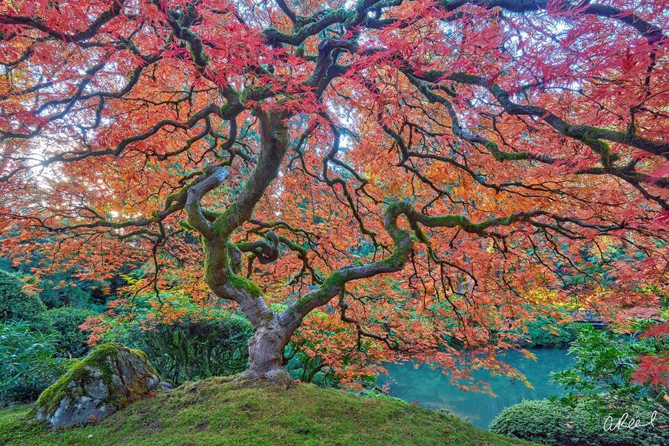A photo of a red Japanese maple tree with its branches spread out wide inside Portlands Japanese Garden in Oregon state.