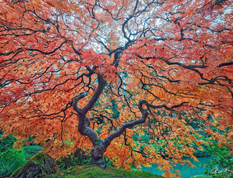 A photograph of a red Japanese maple tree with large twisting branches spread in all directions.