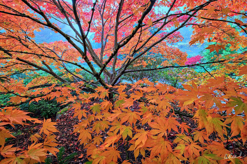 A maple tree photograph with large leaves in a garden on a foggy autumn morning.
