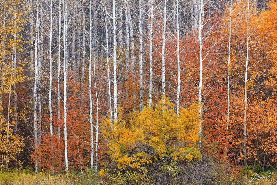 A photograph of tall skinny aspen trees mixed with red and yellow bushes during fall.