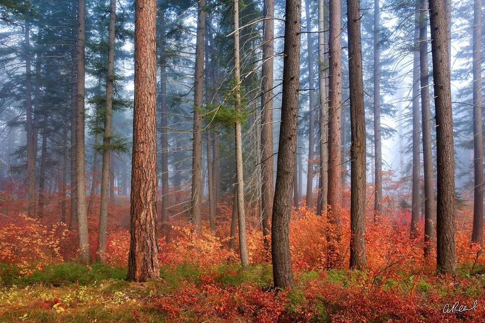 A photograph of a forest during fall with brown tree trunks and red ground cover on a foggy morning.