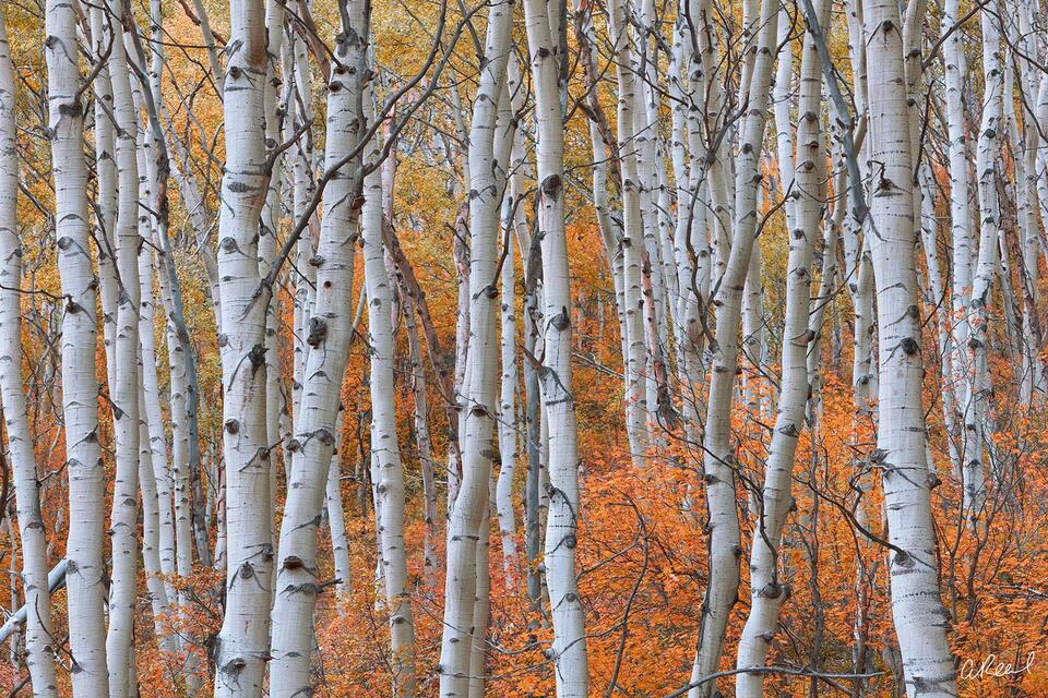 A photograph of tangled aspen tree trunks during autumn with red and orange leaves.