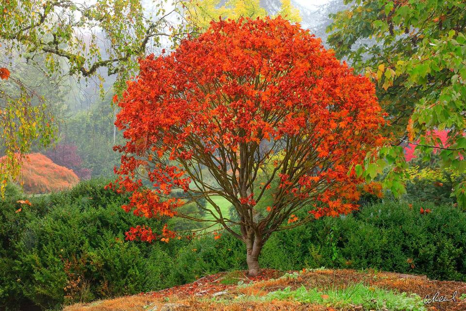 A long short tree with bright red leaves in a garden on a hill during a foggy morning.