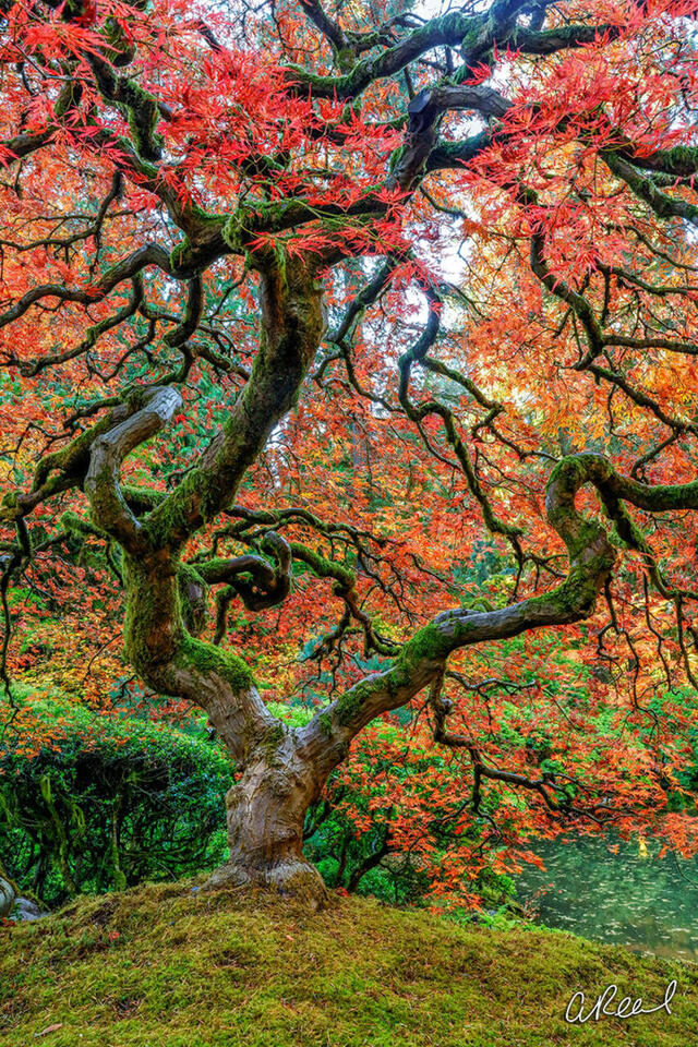 A twisted Japanese maple tree with red leaves and a green mossy trunk.