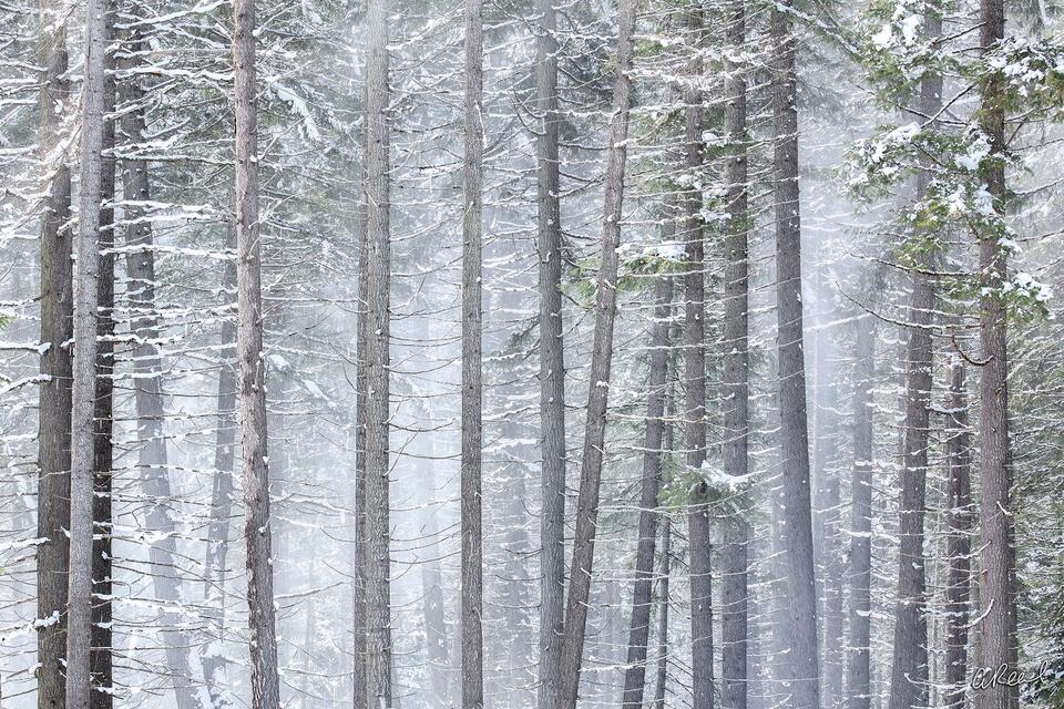 A forest of tree trunks with green leaves covered in snow on a foggy day.
