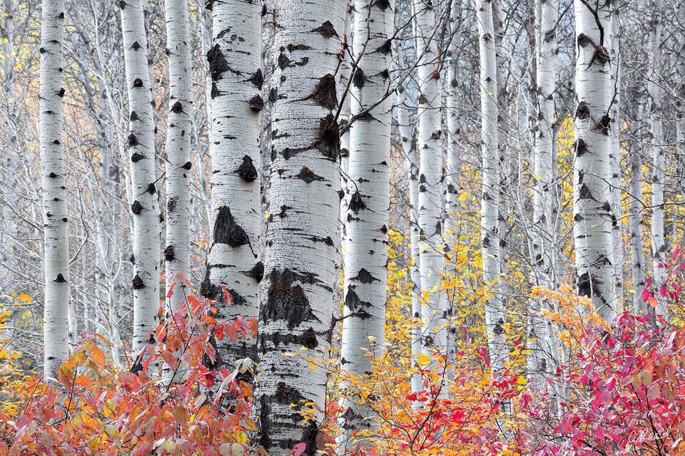 A photograph of a thick forest of aspen trees without leaves with red bushes at their base.