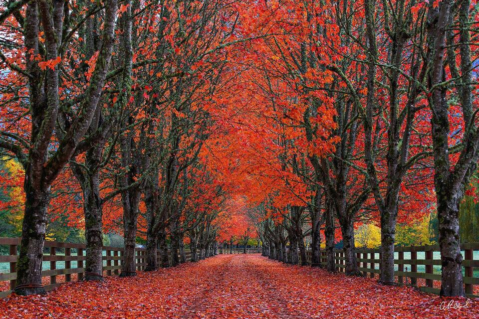 A photo of a long tree tunnel with red autumn leaves located in North Bend, Washington.