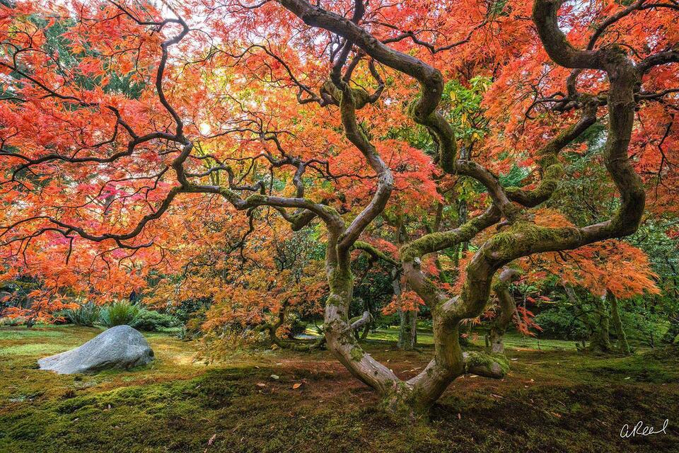 A photograph of a Japanese maple tree in autumn in a garden with moss growing around its base.