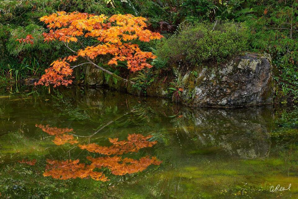 A photograph of a small Japanese maple tree reflecting in a pond growing from a crack in a rock.