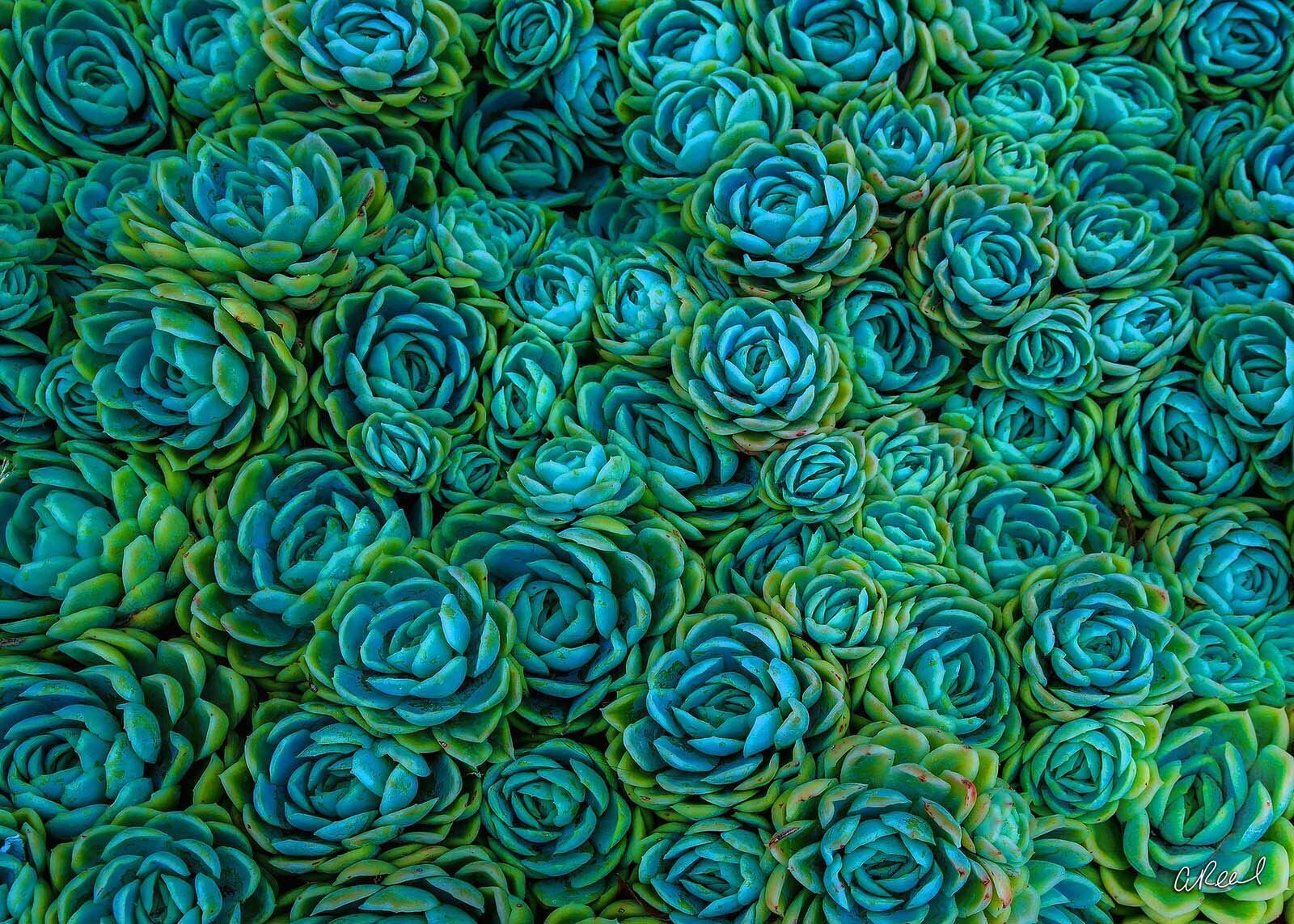 Succulent, Abstract, Fine Art, Limited Edition, Green, Blue, San Francisco, California, photo