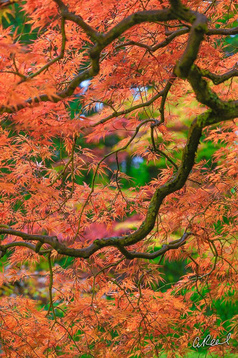 Bokeh, Tree, Maple, Light, Fine Art, Limited Edition, Nature, Colors, Seattle, Washington, photo