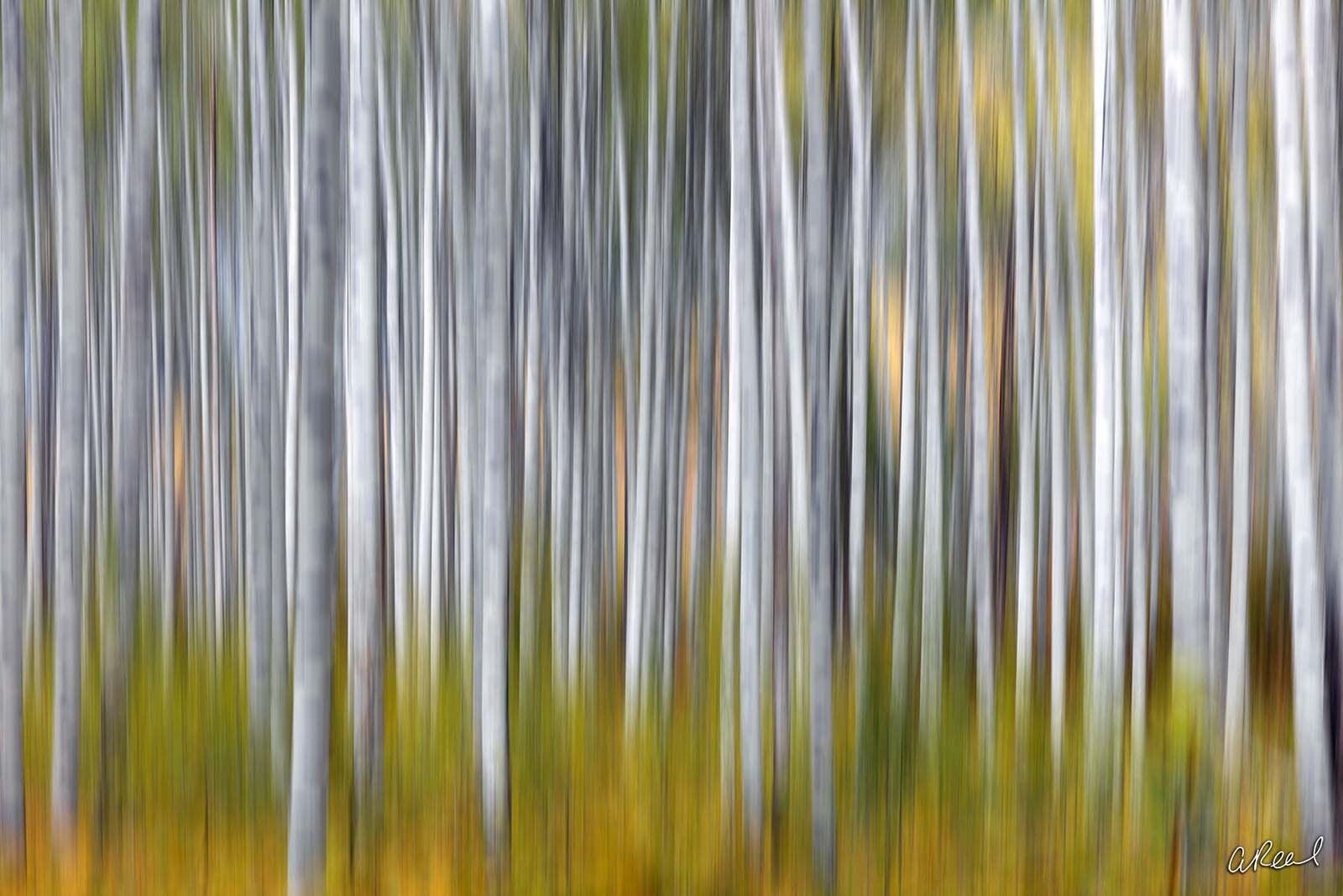 Aspen, Fine Art, Limited Edition, Colorado, Trees, photo