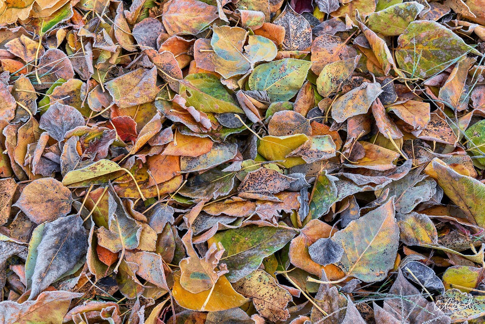 Frost, Ice, Autumn, Leaves, Fall, Leavenworth, photo