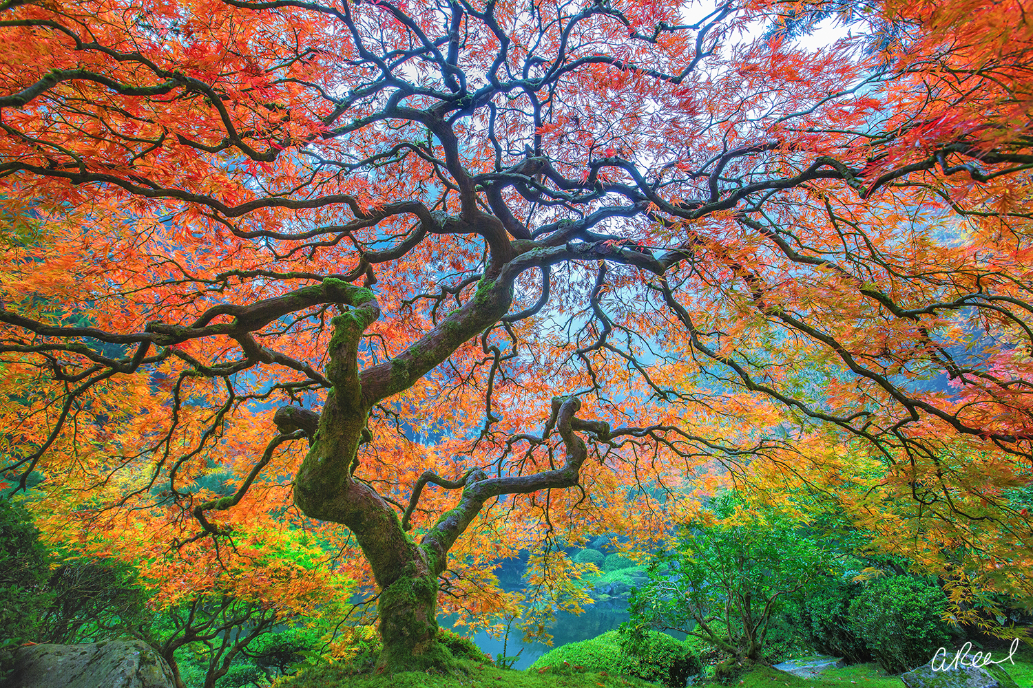 Dragons Breath Japanese Maple Print by Aaron Reed