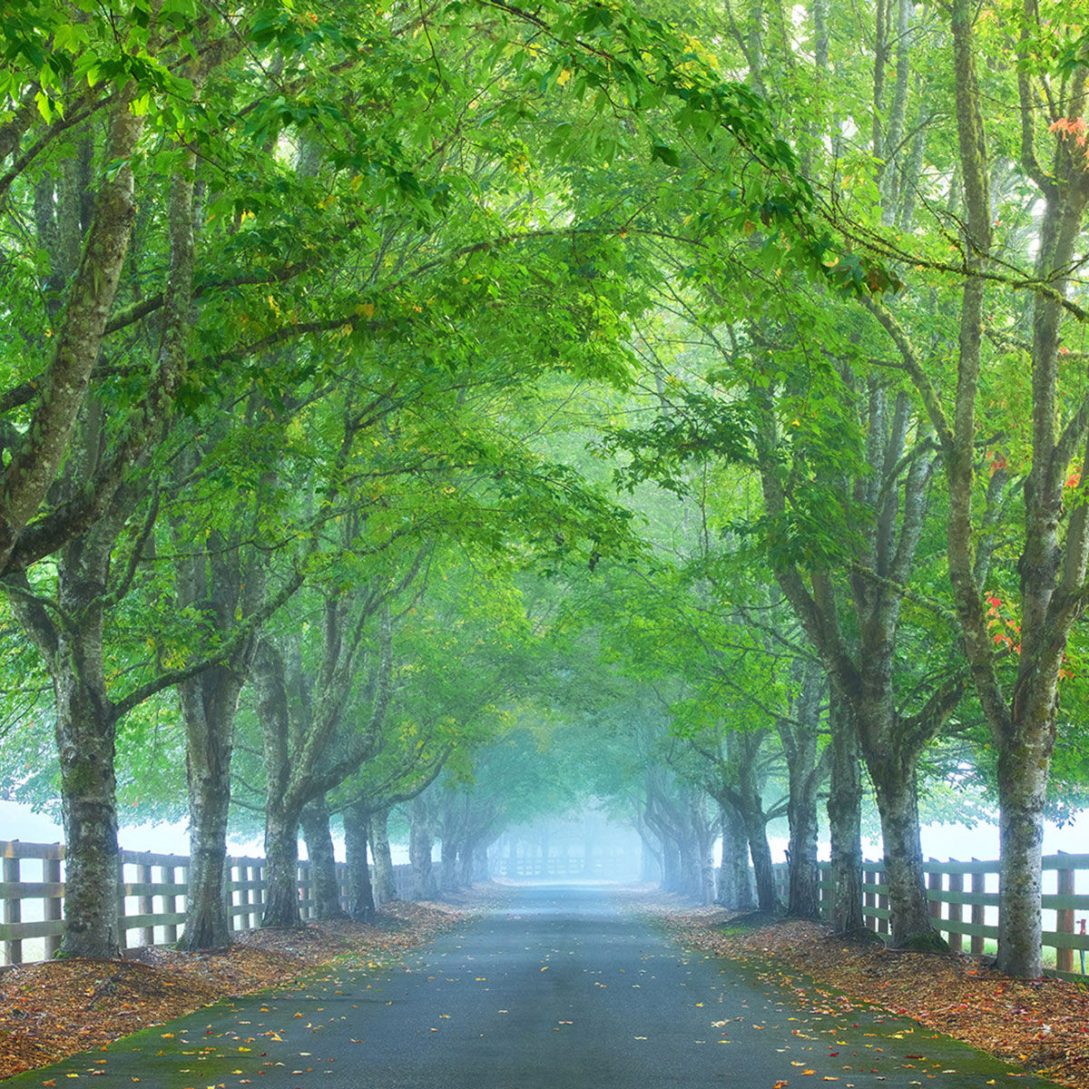 A fine art photograph of foggy trees in the spring titled Into The Silence.