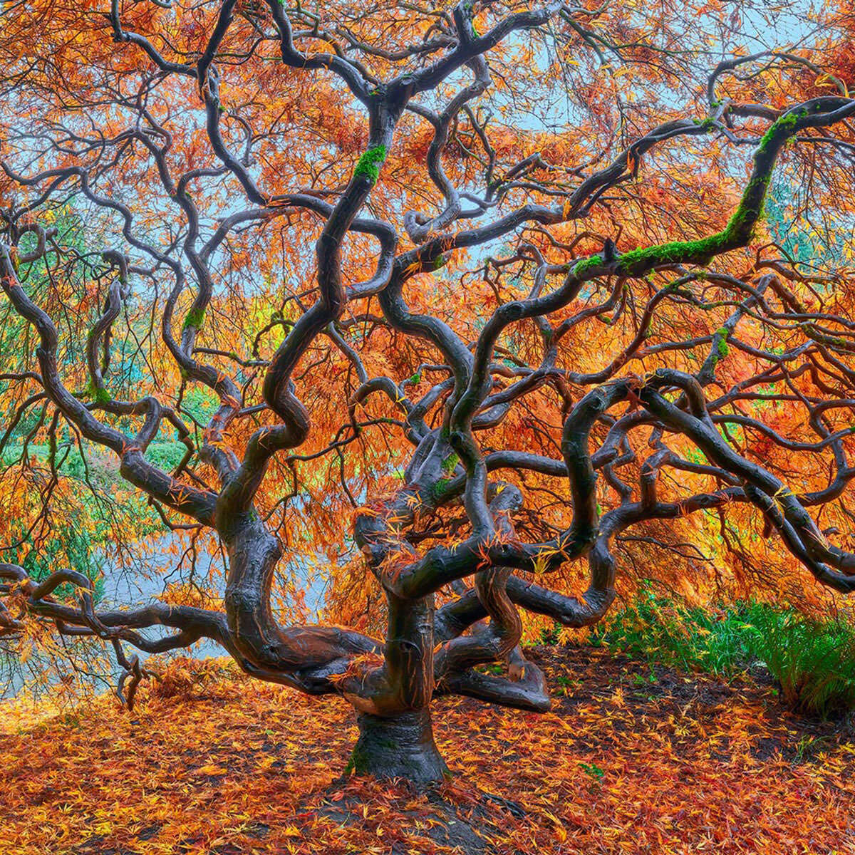 A fine art photograph of a sprawling Japanese Maple Tree in Seattle, Washington titled Electric.