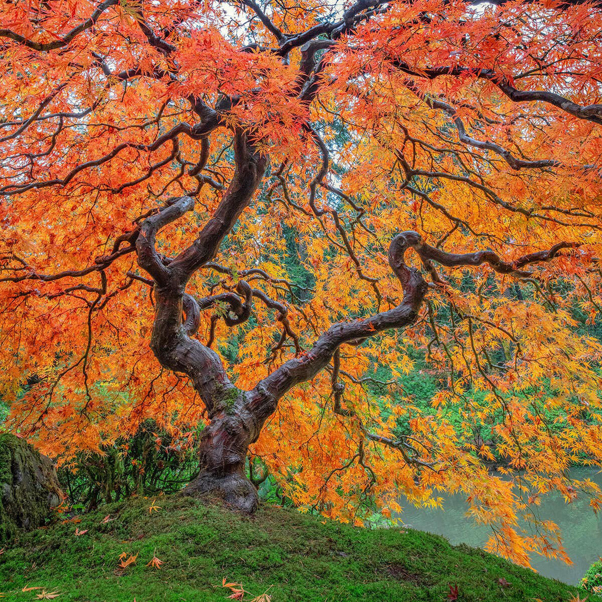 A fine art photograph of a Japanese maple Tree in Portland's Japanese Garden titled Magnetic Interference.