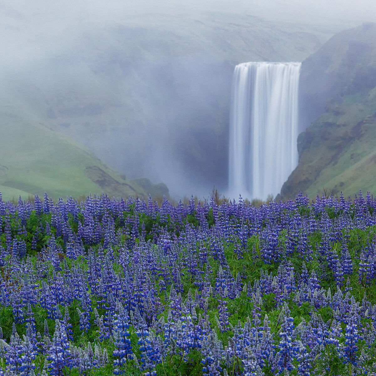A fine art photograph of a foggy Skogafoss Falls in Iceland surrounded by a carpet of Lupine titled The Congregation.