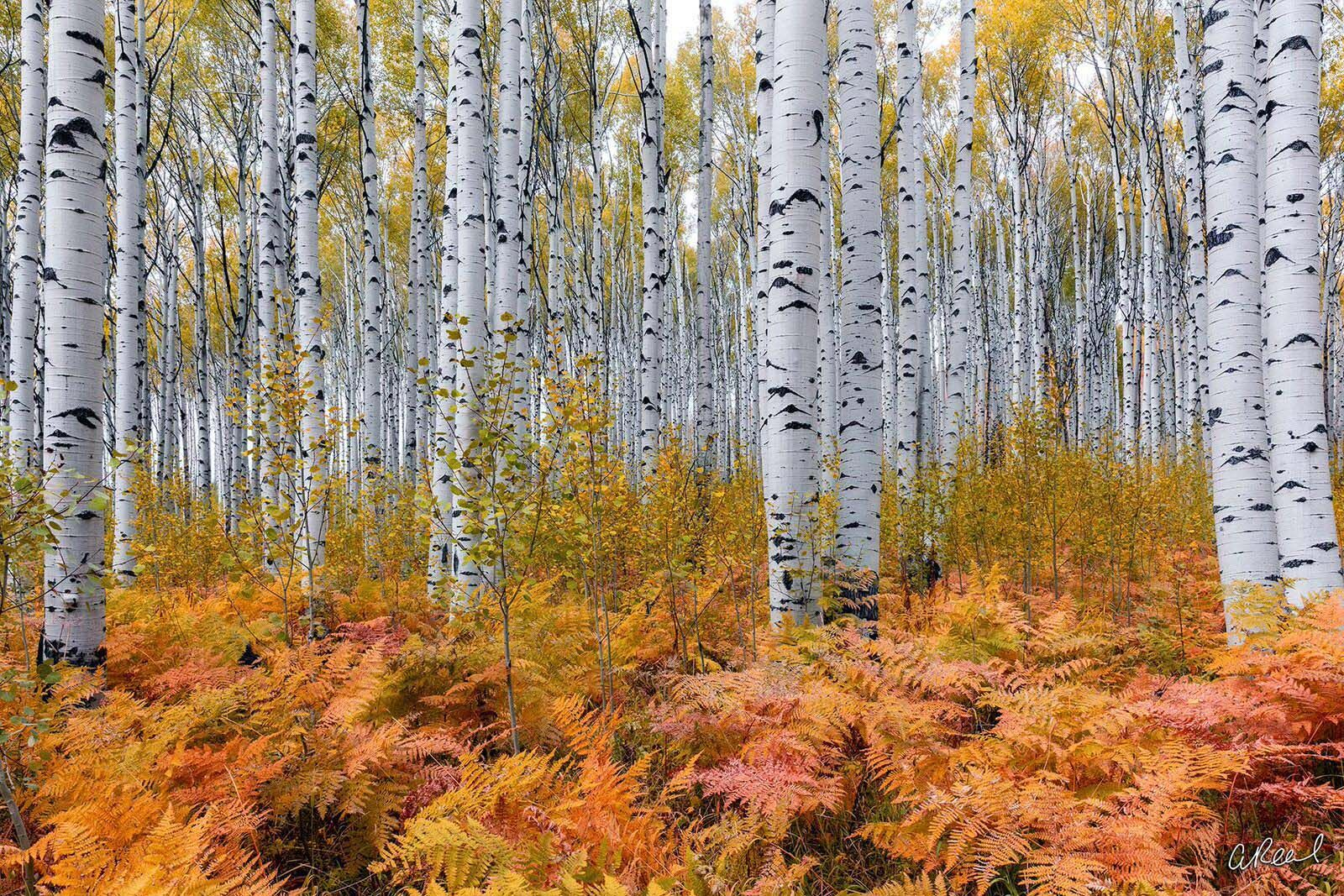 Fine Art, Limited Edition, Aspen, Colorado, Ferns, Aspen Trees, Mountain, Ski , photo