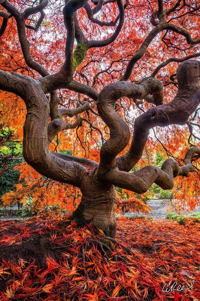 Fine Art, Limited Edition, Seattle, Kubota, Garden, Japanese Maple Tree, Tree,, photo