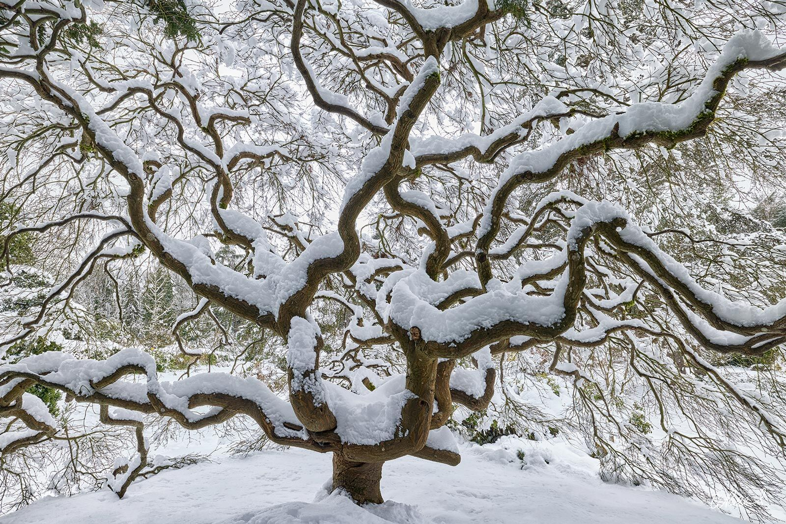 Fine Art Limited Edition of 50 - A Japanese Maple tree covered in a blanket of fresh white snow in this photograph by Aaron Reed...