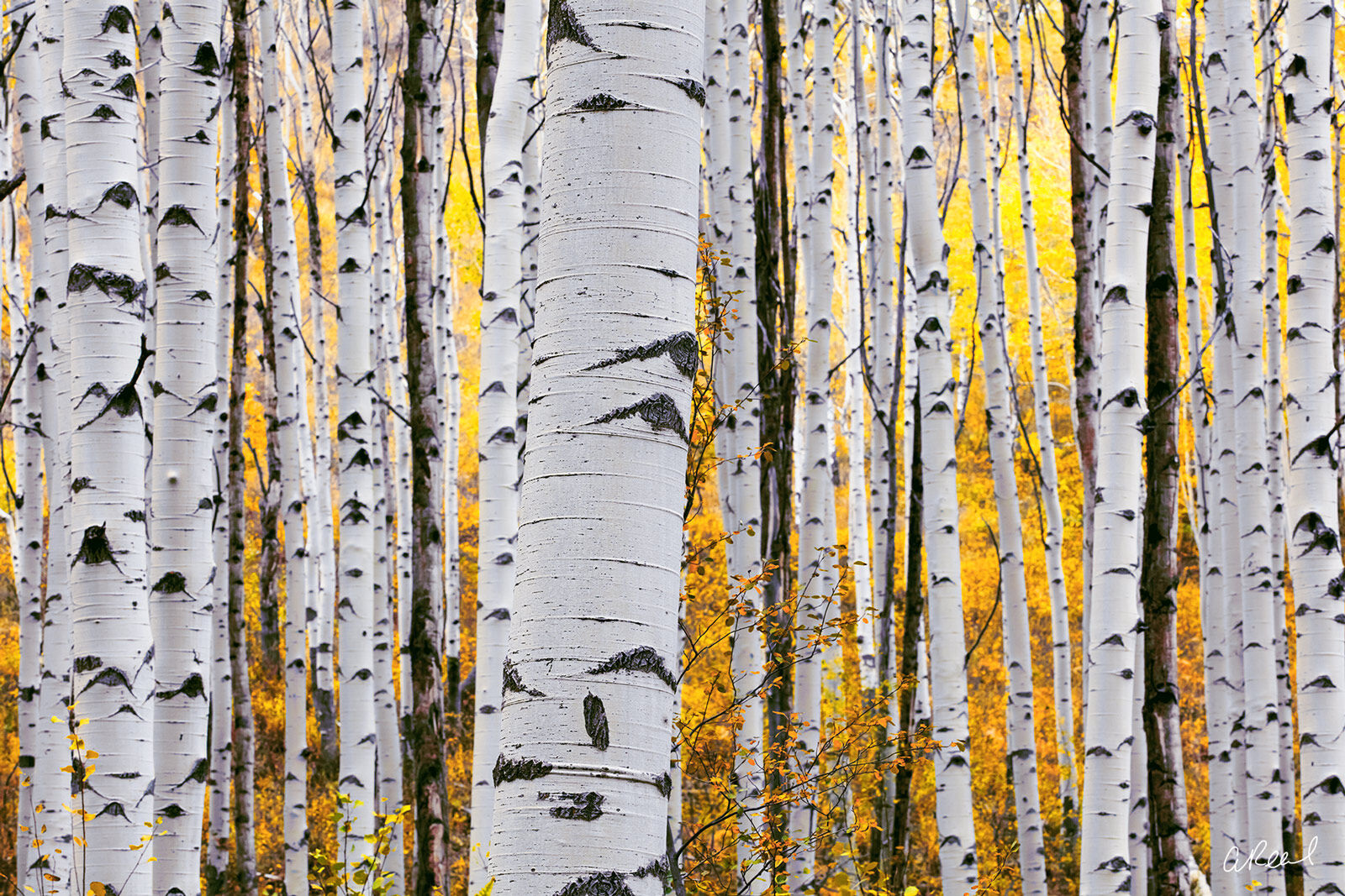 Aspen Tree, Colorado, Telluride, Lemon, Twist, Fine Art, Limited Edition, Trunk, Forest, Roots,, photo