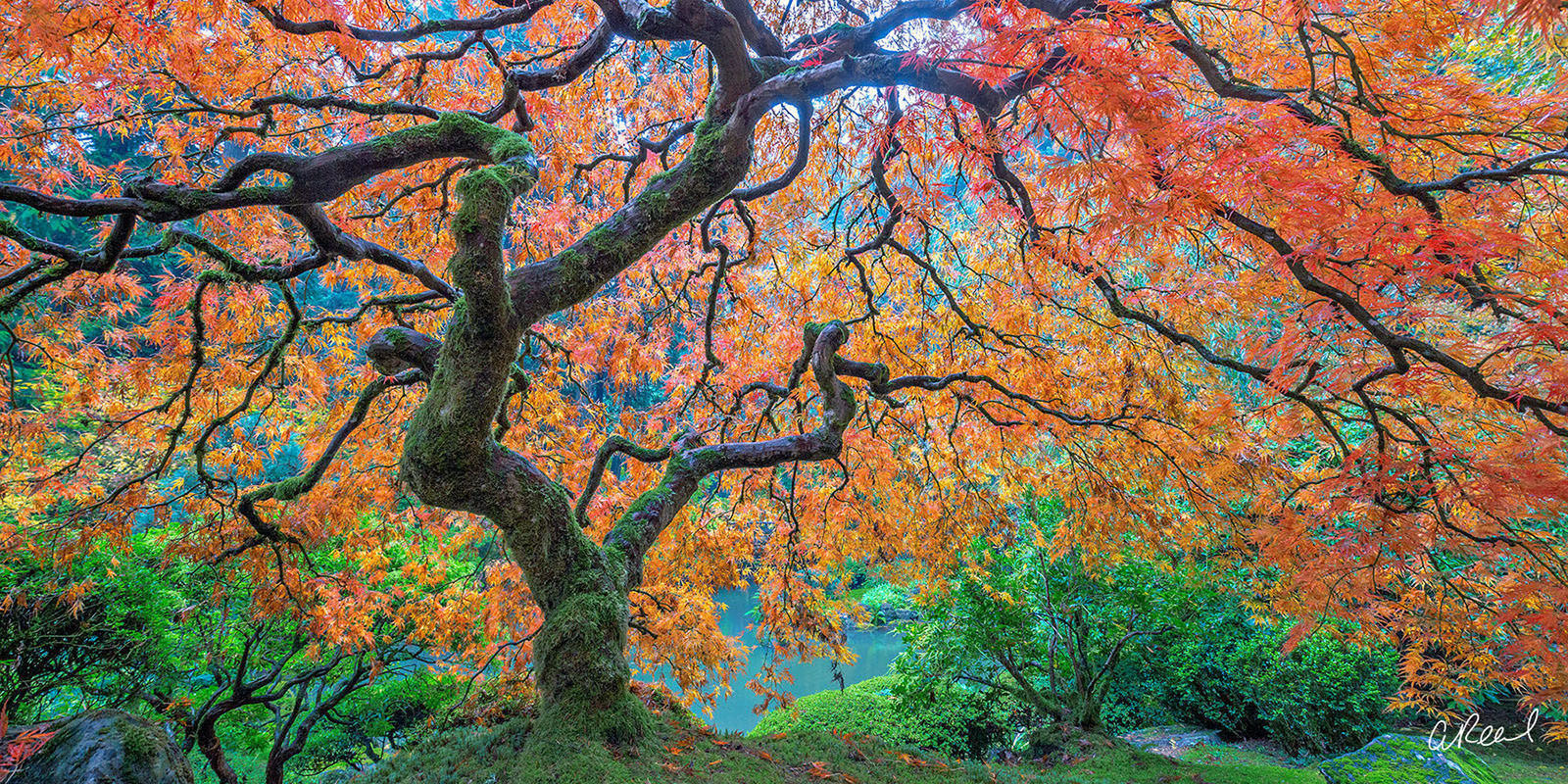 Famous Maple Tree Portland Garden panoramic picture for sale , photo