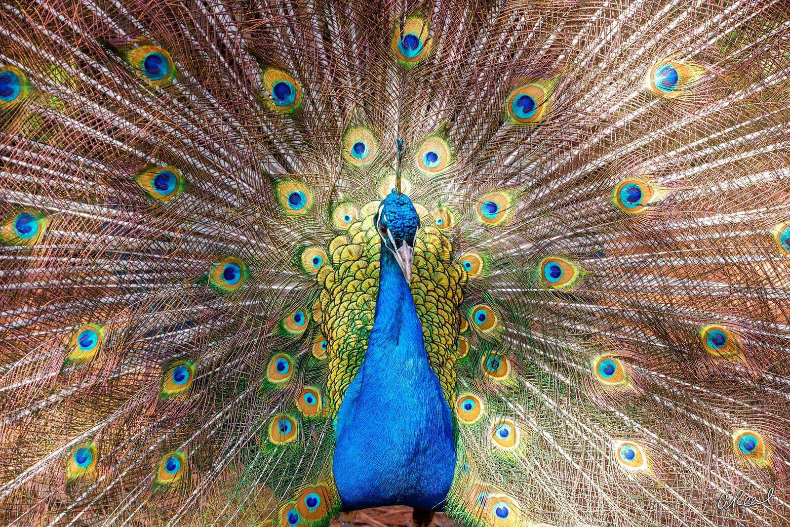 Peacock, Male, Feathers, Colorful, Fine Art, Limited Edition, Issaquah, Washington, Abstrct, photo