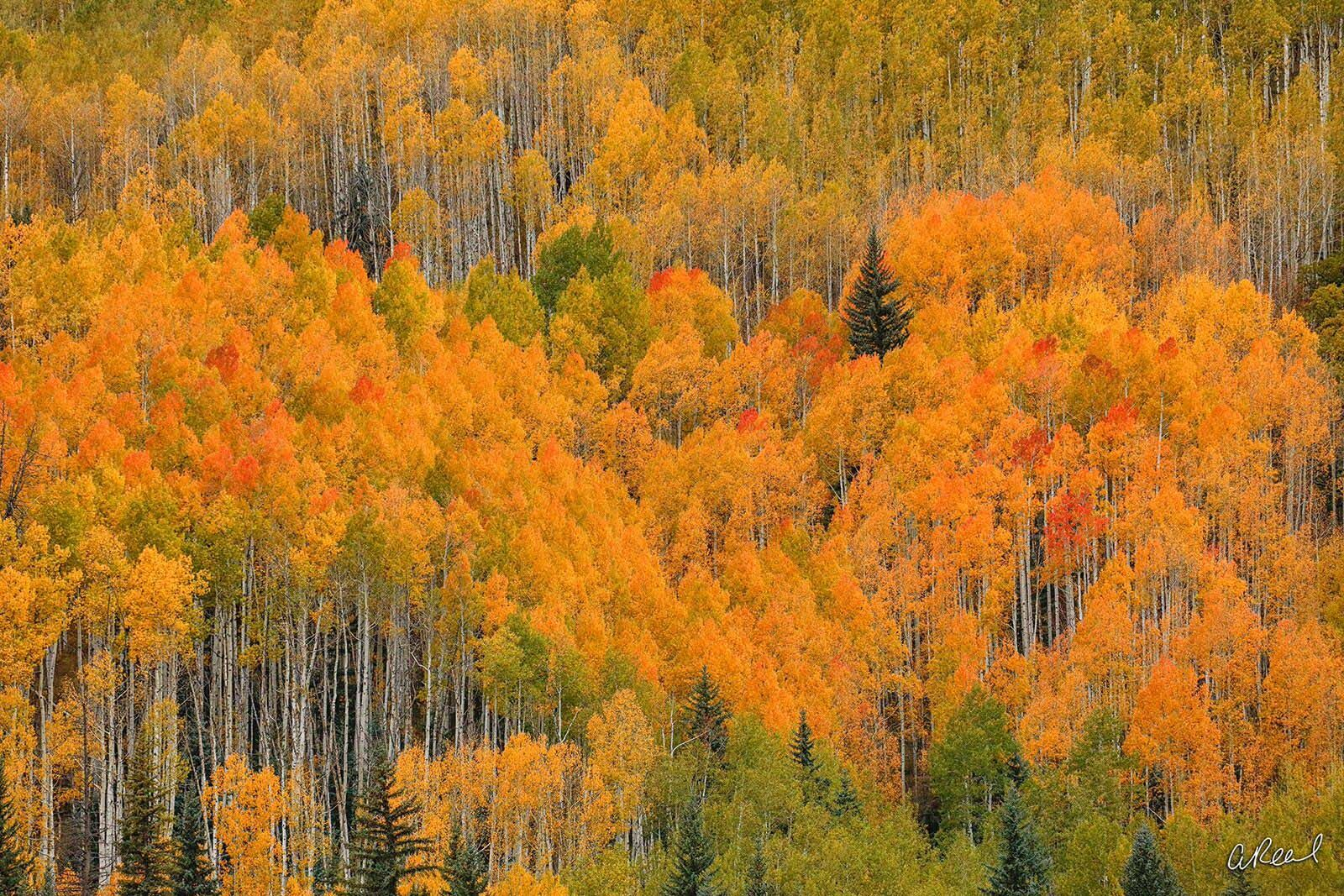 Telluride, Forest, Canyon, Trees, Aspen, Fine Art, Limited Edition, abstract , photo