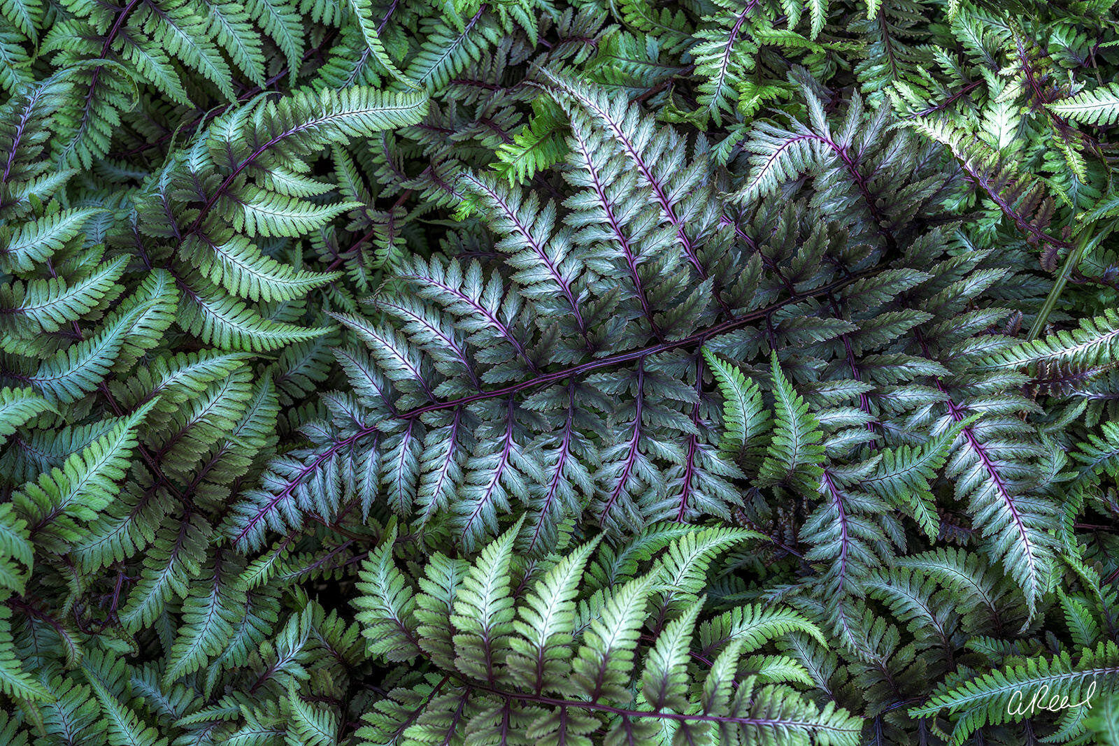 Fern, Japanese Rainbow Fern, Abstract, Spring, Bellevue, Botanical, , photo