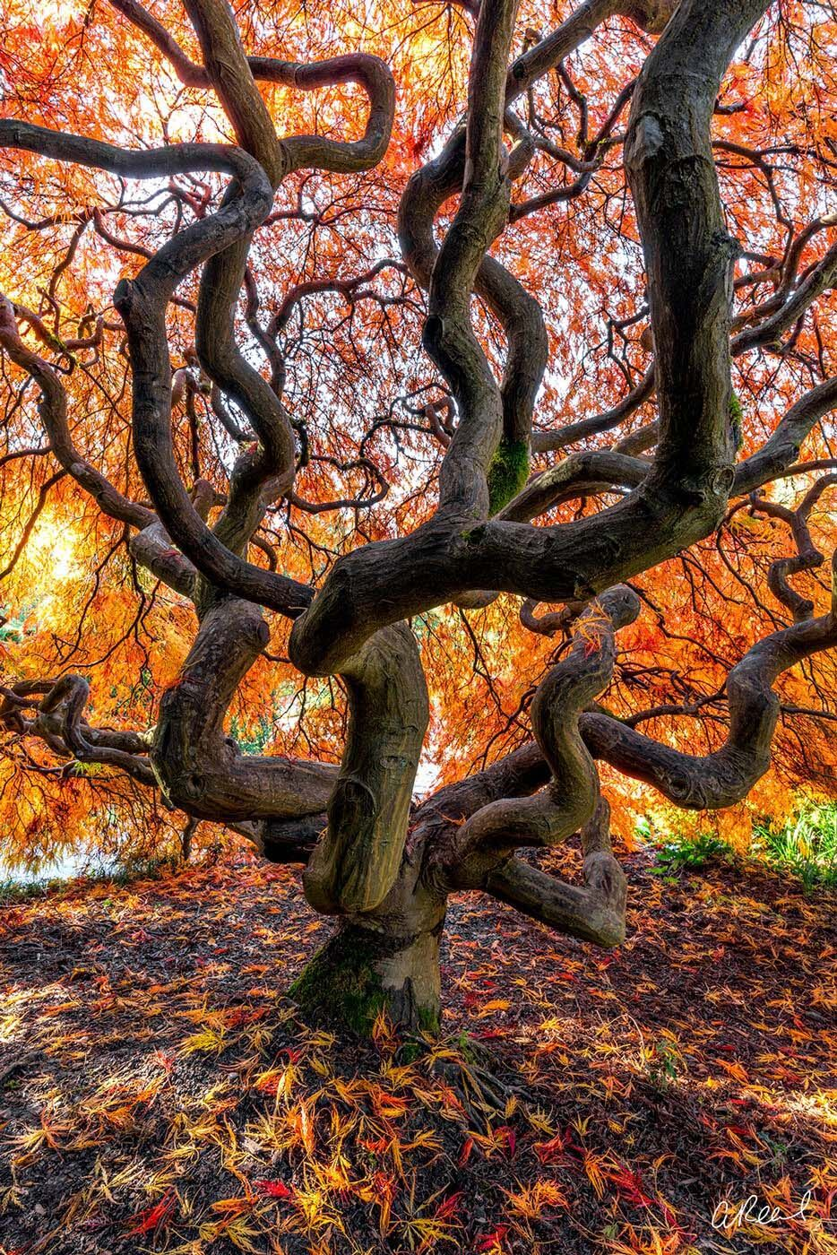 Japanese Maple Tree During Autumn In Seattle. , photo