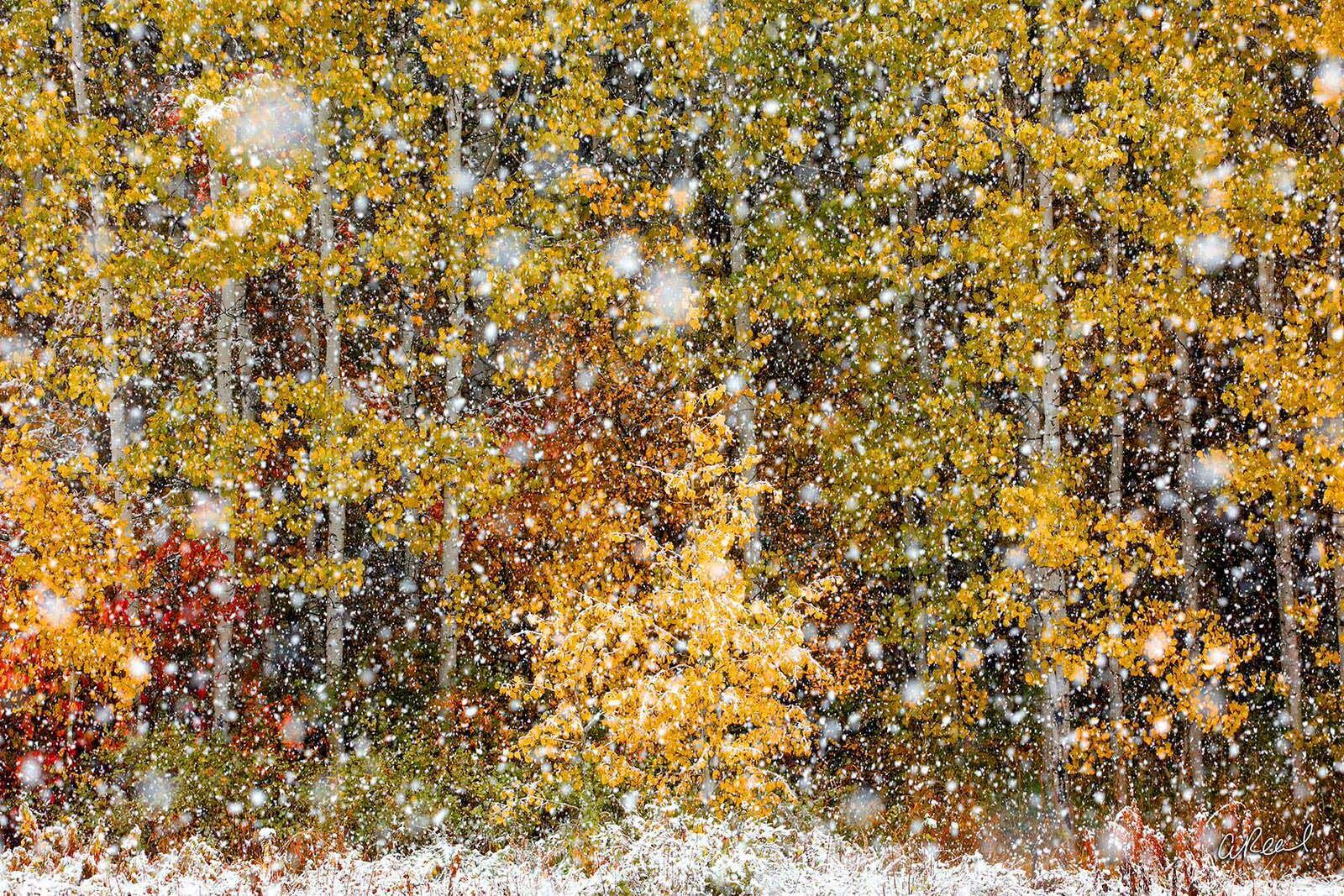 Snowflakes, Snowfall, Climate, Winter, Cold, Snow, Trees, Autumn, Drift, Snowpack, Fine Art, Limited Edition, photo