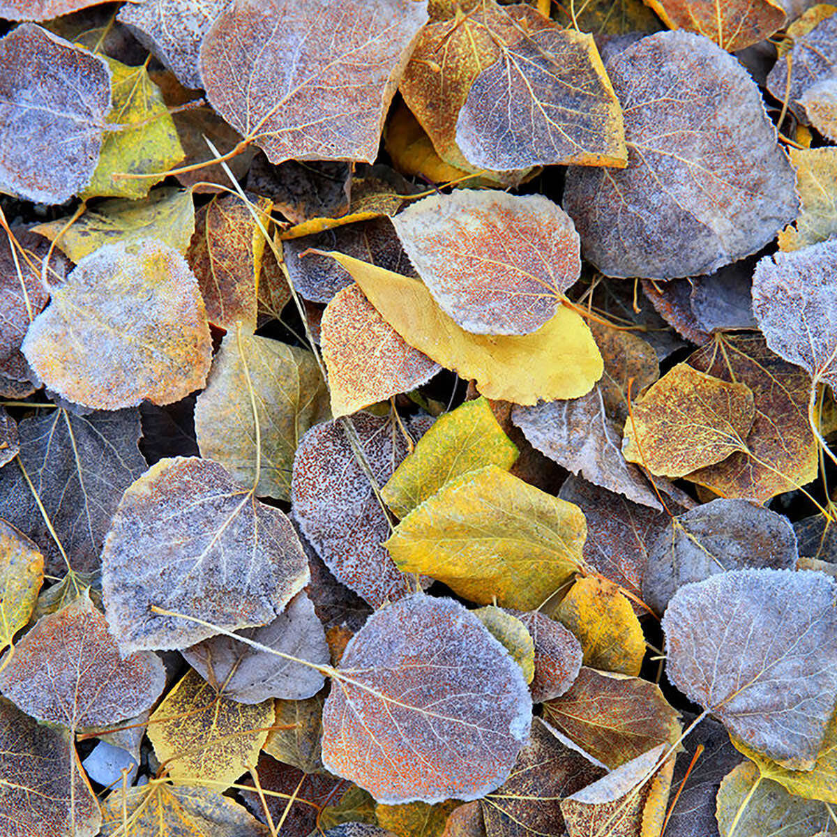A photograph of fallen autumn leaves in Leavenworth, Washington titled Frosted Flakes.