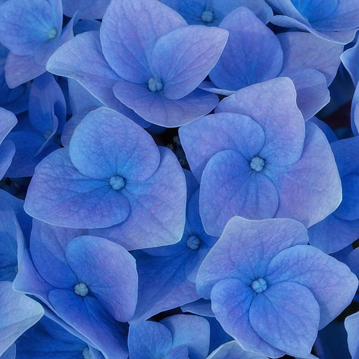 A photograph of delicate blue hydrangia titled Fragile.