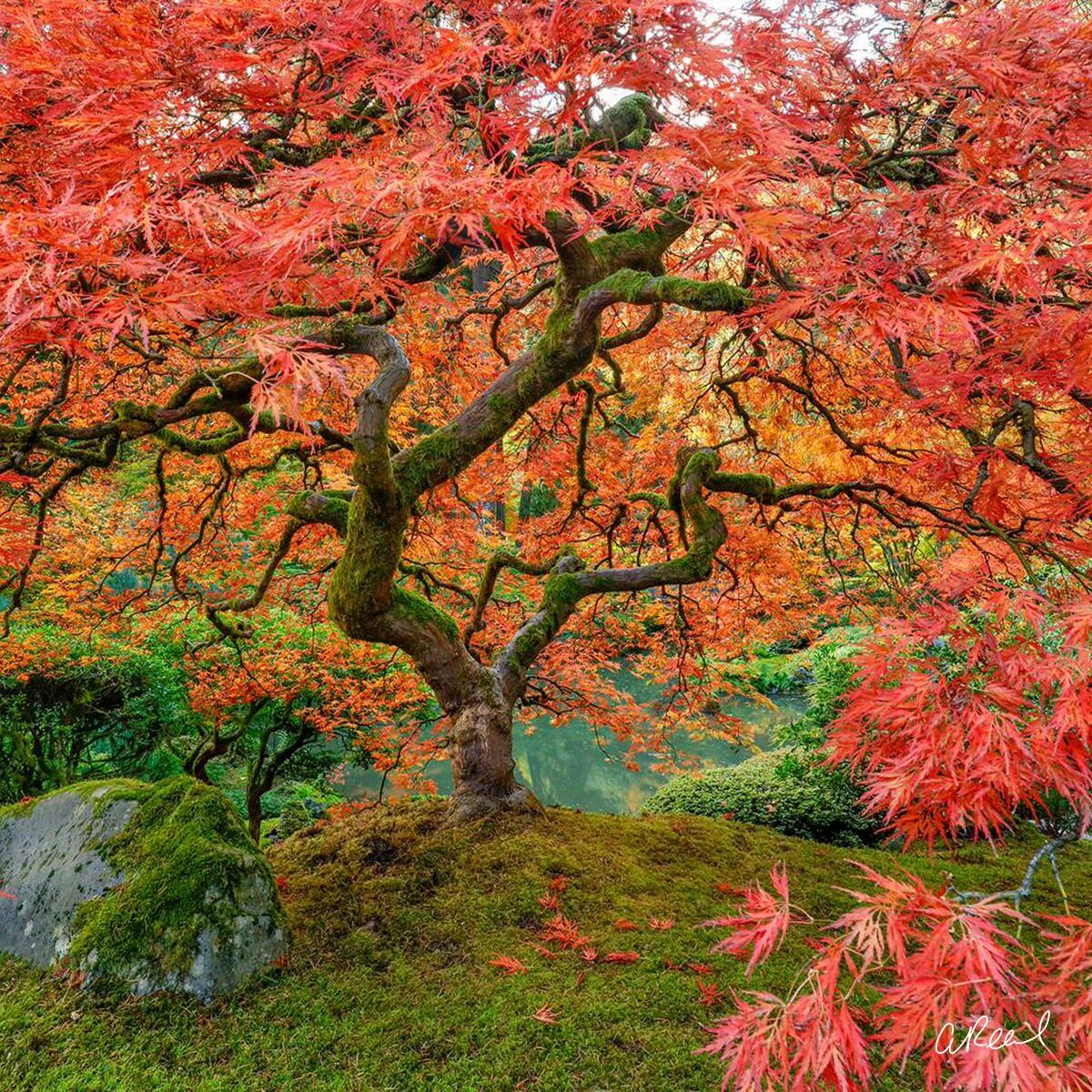 A fine art photograph of a lace leaf maple tree in the Portland Japanese Garden titled Supernova.