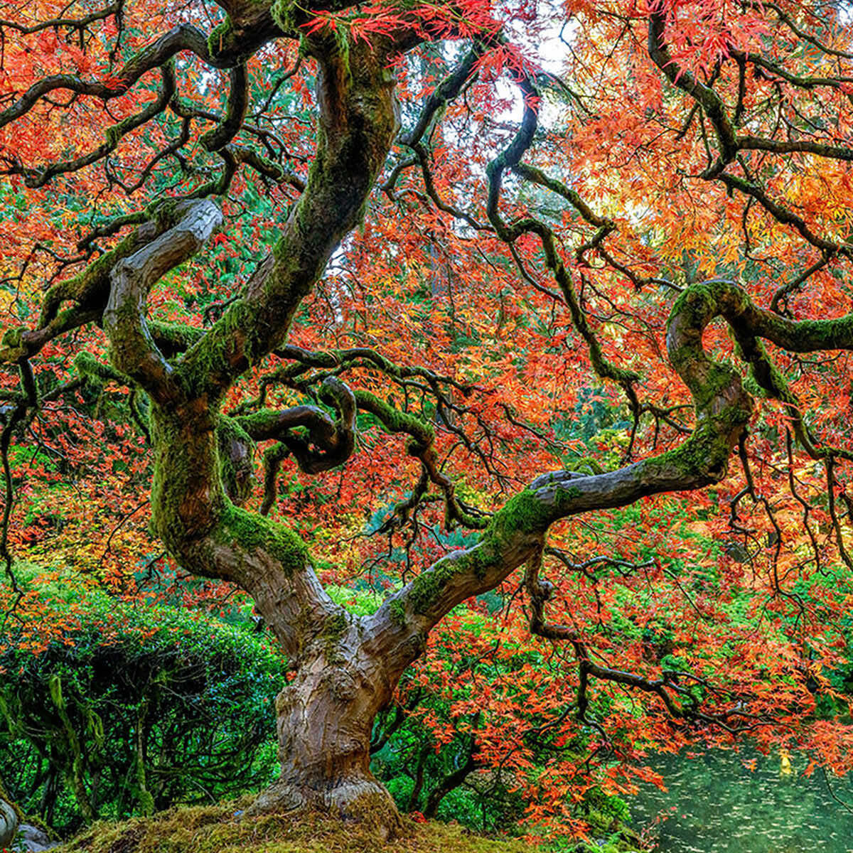 A fine art photograph of a Japanese Maple tree in Portland Oregon titled Rise Of The Phoenix.