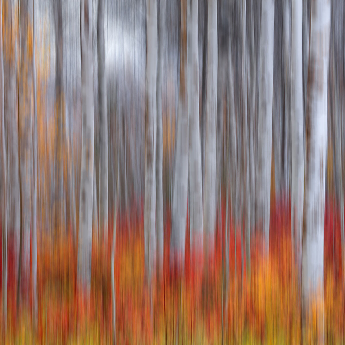 A photograph of aspen trees captured using intentional camera movement titled Brushed.