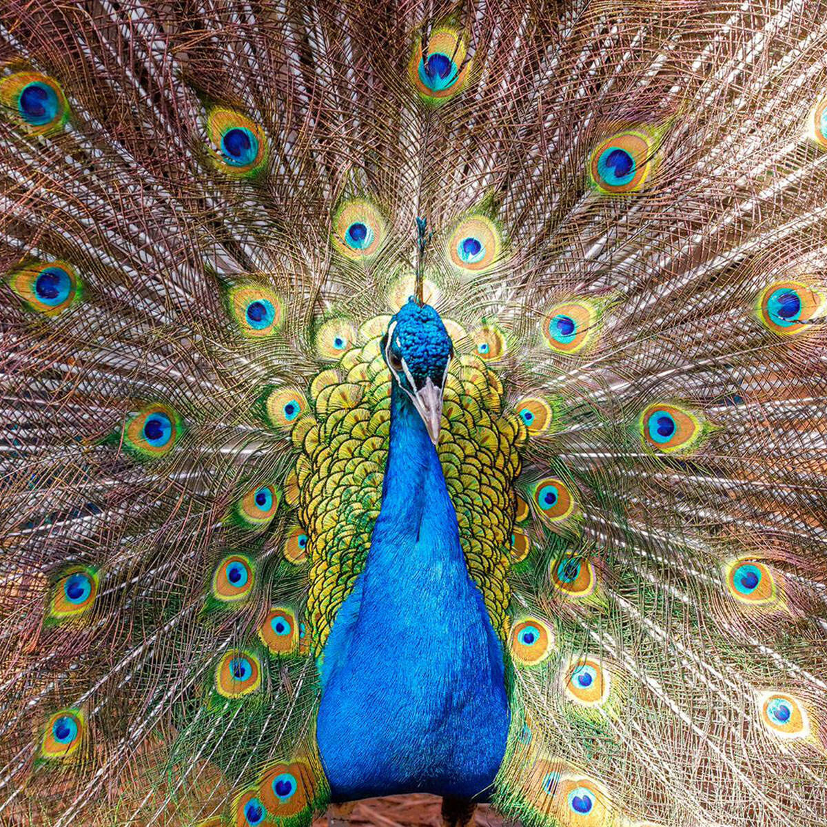 A fine art photograph of a peacock titled Mesmerize.