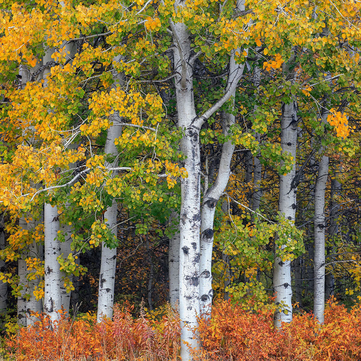 A fine art photograph of a small section of birch trees titled Lemon Lime.