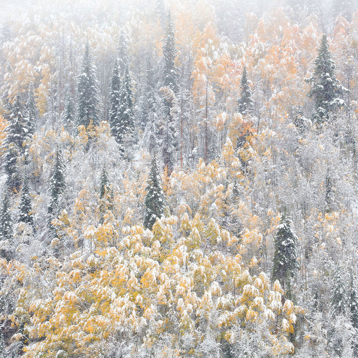 A photograph of snow covered trees during autumn in Vail, Colorado titled Winters Vail.