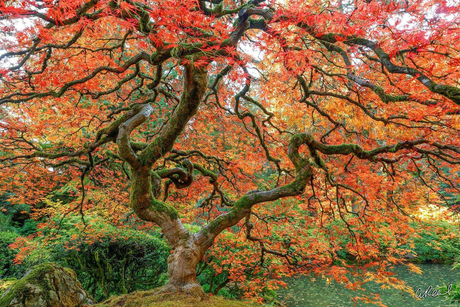 dragon, tree, life, limited, fine art, Japanese maple tree, Portland, Oregon, Japanese Garden, , photo